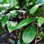 Canela de velho, planta eficaz contra a artrite, artrose, inflamações nas articulações e outras.