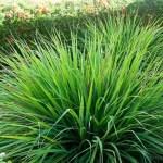 Capim cidreira: 10 excelentes motivos para iniciar o consumo desta planta