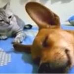 Um cão dá um grande pum enquanto dorme e a reação do gato provoca risos!