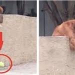 Cachorro deixa cair a bola todos os dias, para que alguém tenha que brincar com ele
