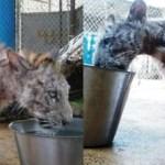 Resgatam um tigre moribundo de um circo e 7 meses depois está irreconhecível