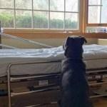 Cão espera ao lado de leito em hospital por dono, que morreu