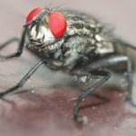 Pesquisa revela que moscas podem carregar mais de 350 tipos de bactérias