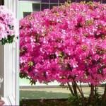 Azaleia: como cuidar desta linda flor, a queridinha do seu jardim