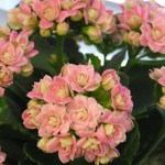 Kalanchoe: conheça esta pequena planta que ajuda as pessoas a sentirem-se melhor