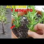 Aprenda a plantar alecrim em casa: dicas passo a passo