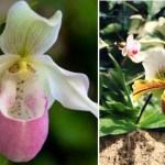 Orquídea sapatinho: aprenda alguns segredos para cultivar esta planta em casa