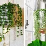 Colar-de-pérolas: aprenda a cultivar e fazer mudas