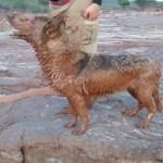 Morre cadela que participou do resgate das vítimas de Mariana e Brumadinho