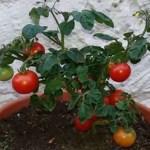 Como cultivar tomate cereja em um vaso