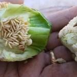 Benefícios das sementes de pimentão para a saúde