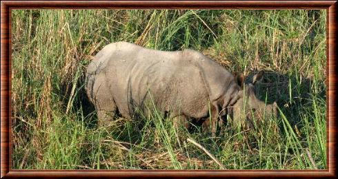 Rhinocéros indien 04