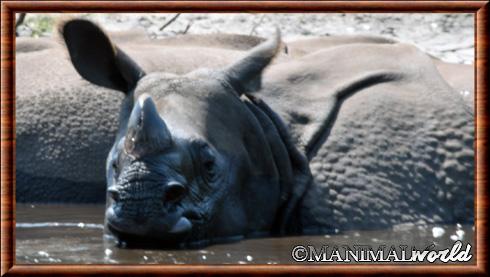 Rhinocéros indien 05