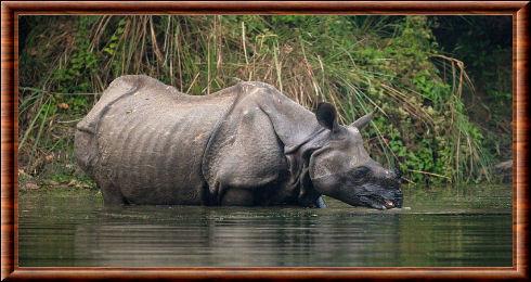 Rhinocéros indien 06