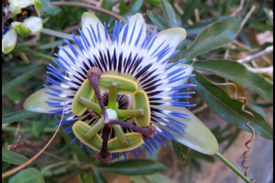 The flower of Passion Fruit