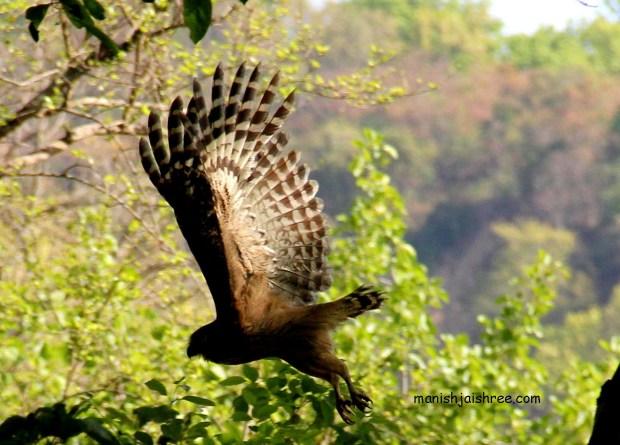 'Browny Fish Owl' in flight