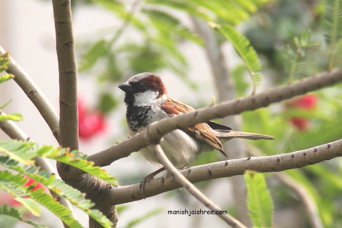 House Sparrow- male