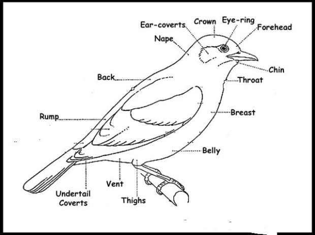 Basic Topography of birds