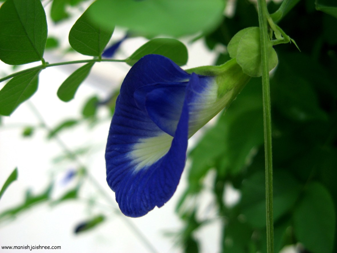 Butterfly Pea flower (Shankha Pushpa)