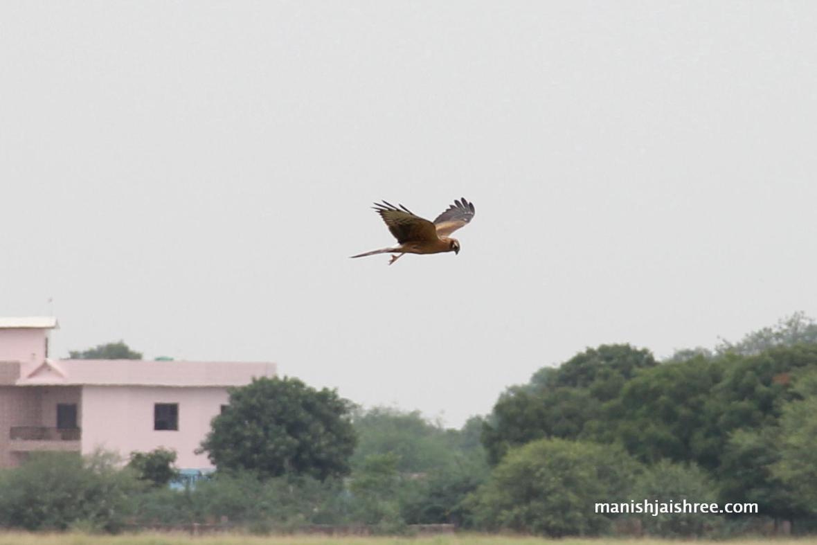 A Raptor in flight