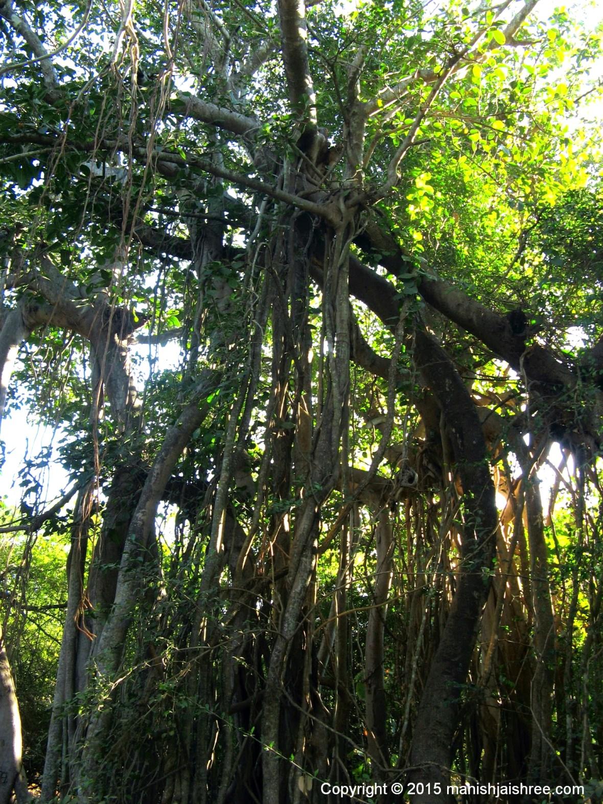 Banyan Tree, Sasan-Gir
