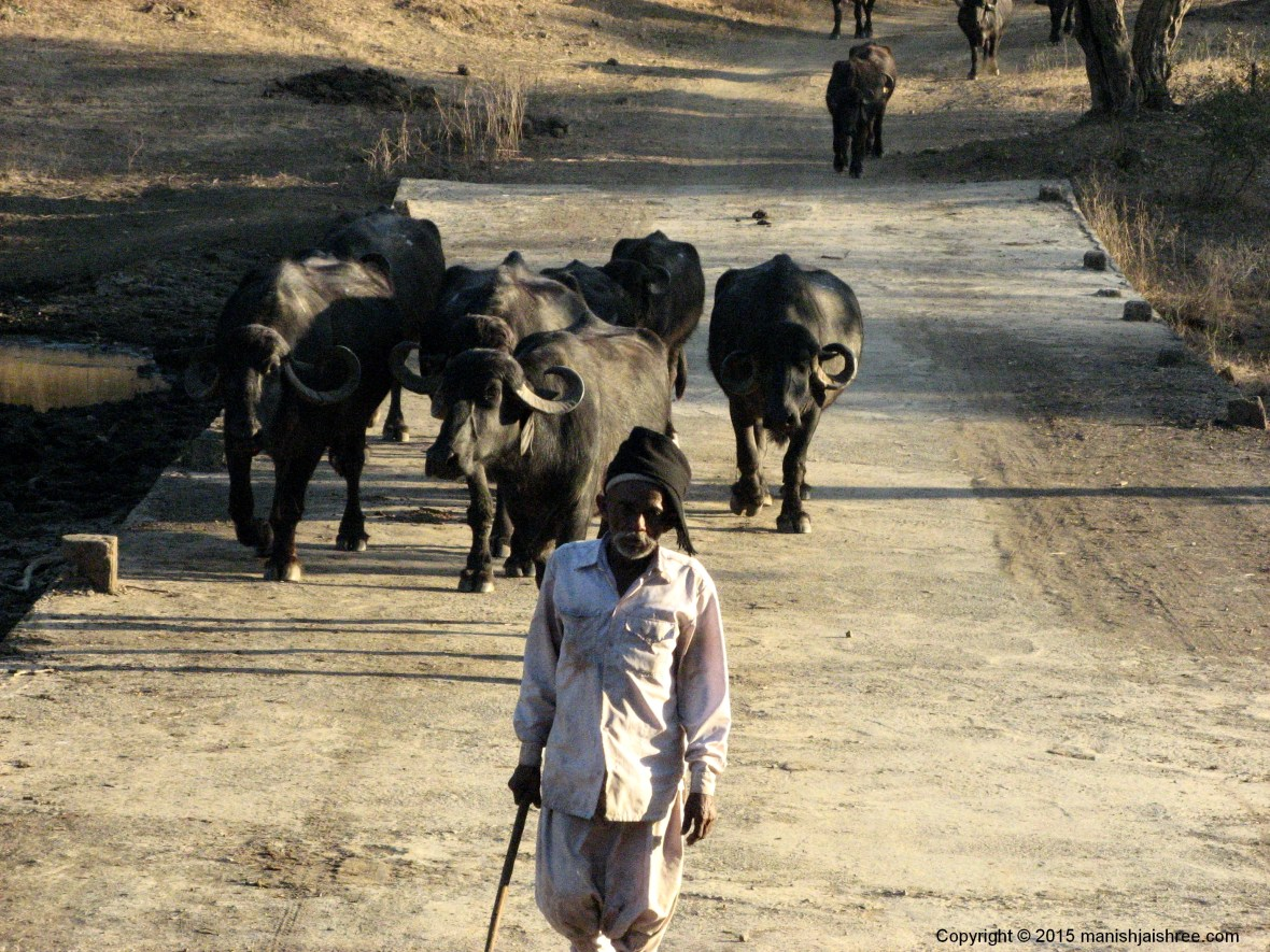A Maldhari in SasanGir forest with his herd of Cattle