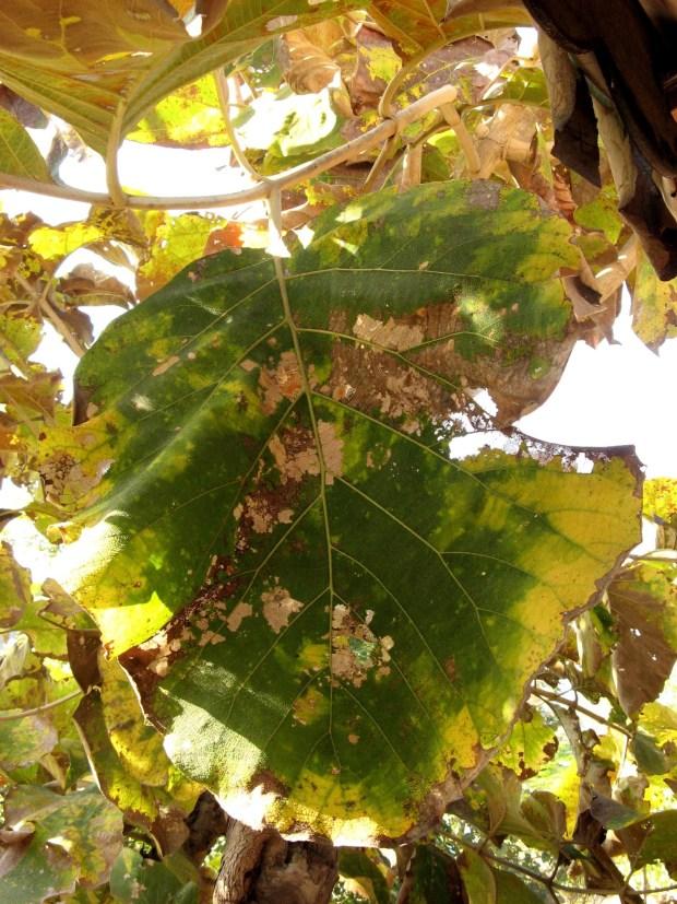 Big Sagwaan Leaf