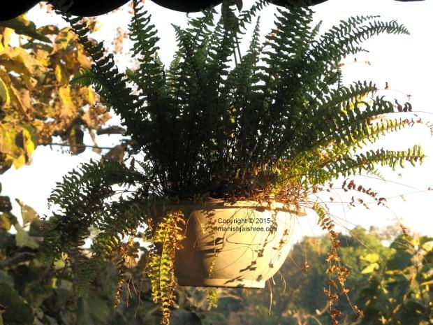 Hanging Basket, Sasan Gir