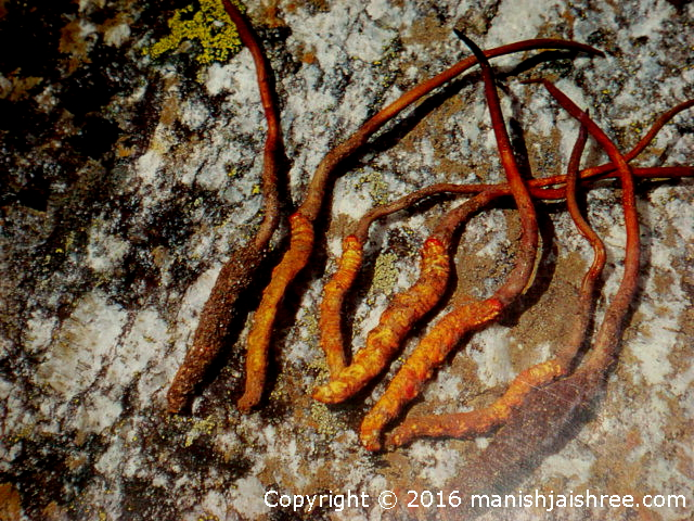 Yartsa Gunbu – Summer grass, winter worm, tribal heritage Museum, Munsiyari
