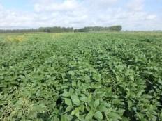 Team B soybeans at R5.