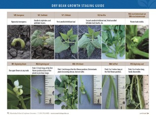 Dry Bean Growth Staging Guide