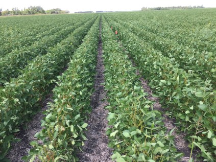 Soybeans at R6 on August 15.
