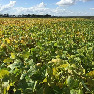 Soybeans at R6 on September 1.