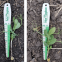Seeding depth variation within a field of peas