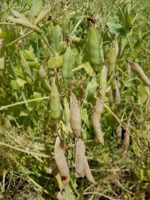 Field peas at R6 near Gladstone on July 29.
