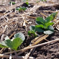 Faba beans at V2 (2leaf/2 node) near Dauphin on June 1, 2021.