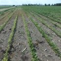 Area of soybean field with SCN infection on July 9 in southern Manitoba.