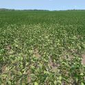 Flipped soybean leaves from moisture and heat stress in the Interlake on July 13.