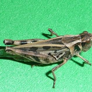 Clearwinged grasshopper. Photo: John Gavloski, Manitoba Agriculture and Resource Development.