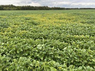 Patch of K-deficiency in a sandy soybean field.