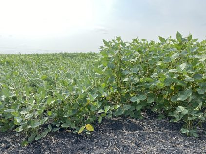 Height differences of two different soybean varieties at the Morris variety evaluation trial.