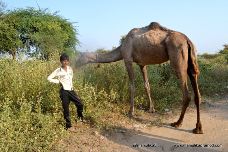 Chambal, camel