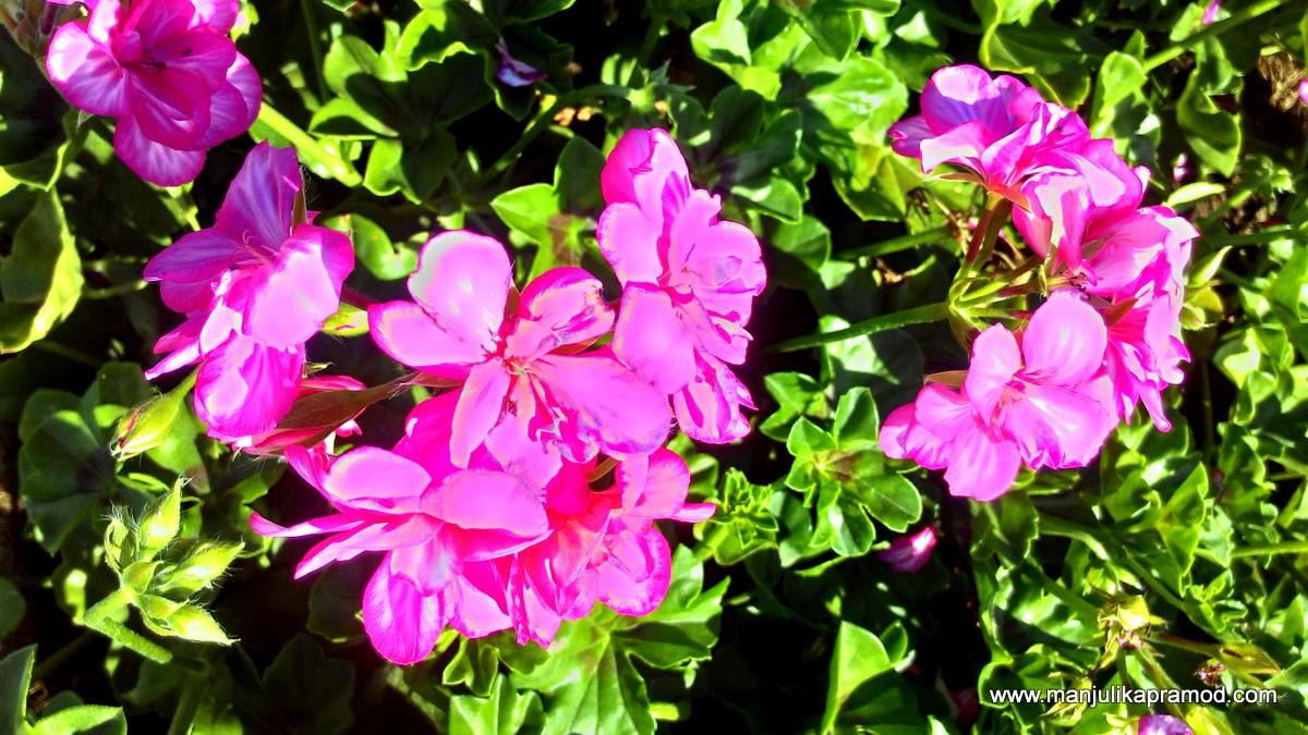 Pink flowers in Dubai, Travel to Dubai