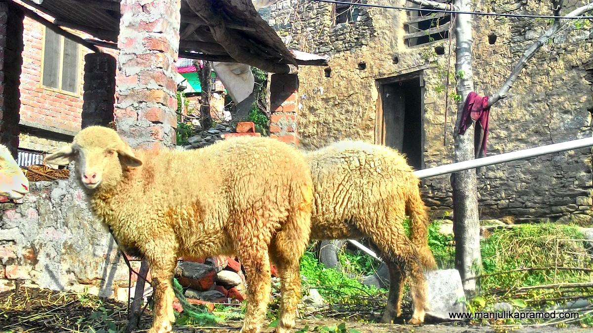 Sheep, Gaddi community, Himachal, India