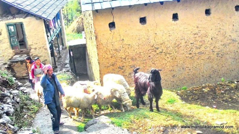 Gunehr, Gaddi community, Kangra valley, Himachal, India, Travel blogger