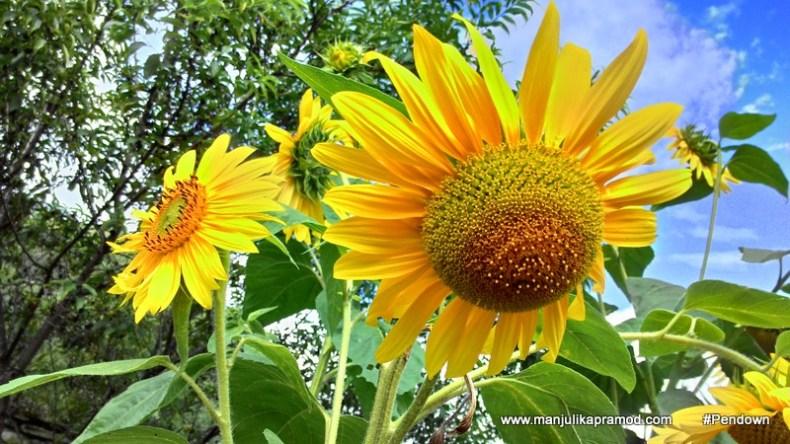 Sunflowers in Bhutan