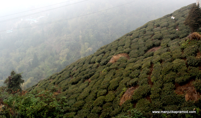 The tea garden at the base of the lounge-Margaret Hope's Tea Estate