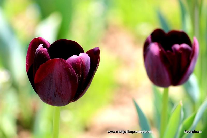 Tulips, Srinagar, Kashmir, Purple