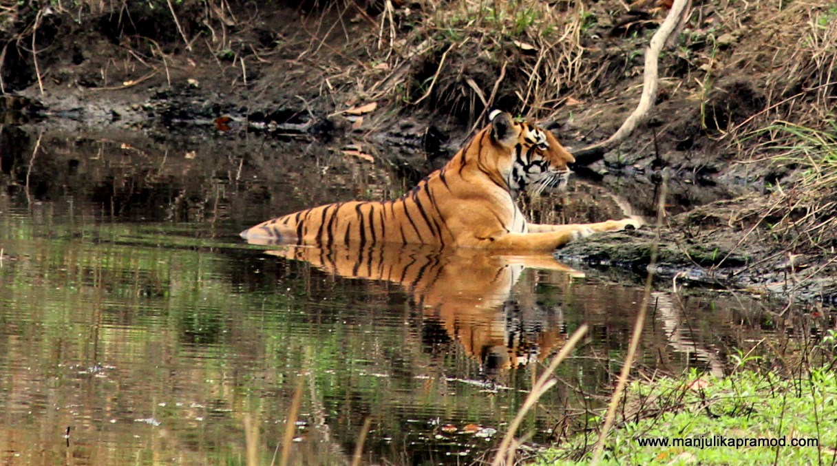 Spotting a Tigress in Kanha forests