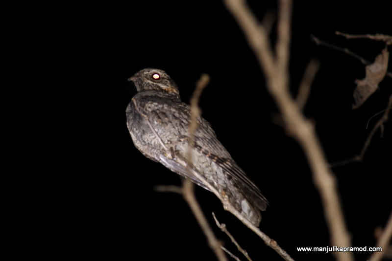 Picture of a Night Jar bird